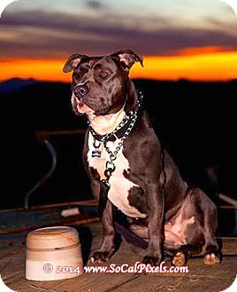 "American Pit Bull Terrier Dog for adoption in Bellflower, California - Penny- ""Foster needed"""