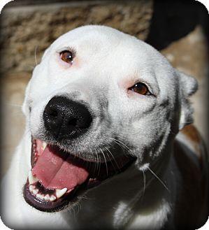 Shepherd (Unknown Type)/Terrier (Unknown Type, Medium) Mix Dog for adoption in Fort Worth, Texas - URGENT Piper - Hulen Petsmart