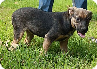 Shepherd (Unknown Type)/German Shepherd Dog Mix Puppy for adoption in Plainfield, Connecticut - Bella