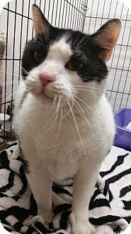Domestic Shorthair Cat for adoption in Ogden, Utah - Tank