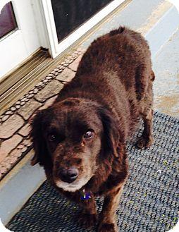 Labrador Retriever Mix Dog for adoption in Evergreen, Colorado - Pagoda