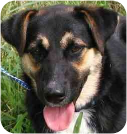 German Shepherd Dog/Border Collie Mix Dog for adoption in Dripping Springs, Texas - Nana