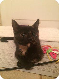Domestic Shorthair Kitten for adoption in Bulverde, Texas - Takara