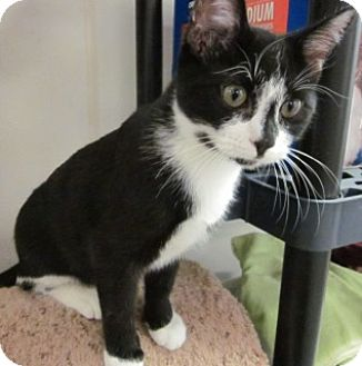 Domestic Shorthair Kitten for adoption in Olive Branch, Mississippi - Gabe