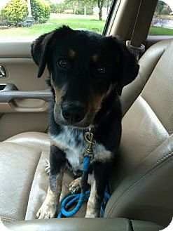 Black and Tan Coonhound/Labrador Retriever Mix Puppy for adoption in Nashville, Tennessee - Max