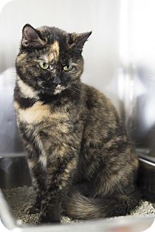 Domestic Shorthair Cat for adoption in Brick, New Jersey - Rita