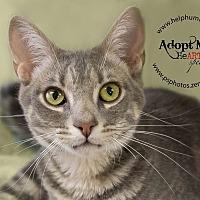 Domestic Shorthair Cat for adoption in Belton, Missouri - Maksim