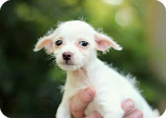 Chihuahua/Yorkie, Yorkshire Terrier Mix Puppy for adoption in College Station, Texas - Brona