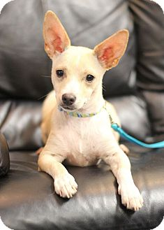 Chihuahua/Rat Terrier Mix Puppy for adoption in College Station, Texas - Muno (8 pounds)