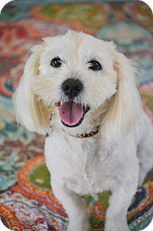 Lhasa Apso/Westie, West Highland White Terrier Mix Dog for adoption in Allentown, Pennsylvania - Harrison