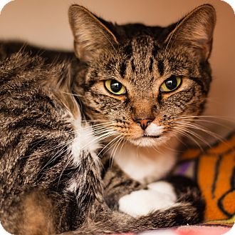 Domestic Shorthair Cat for adoption in Brimfield, Massachusetts - Wednesday