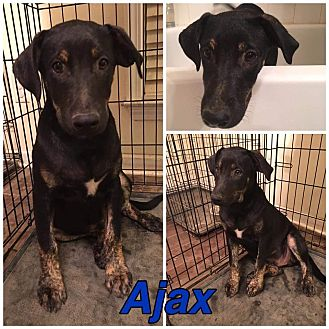 German Shepherd Dog/Catahoula Leopard Dog Mix Dog for adoption in knoxville, Tennessee - AJAX
