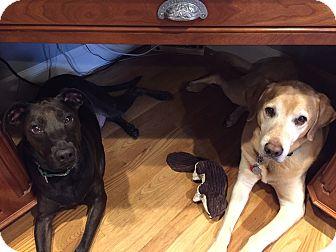 Labrador Retriever Mix Dog for adoption in Medfield, Massachusetts - Sammy