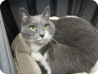 Domestic Shorthair Cat for adoption in Kingston, Washington - Scout