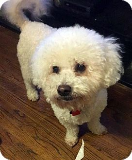 Bichon Frise Dog for adoption in West Bloomfield, Michigan - Luke - Adopted!