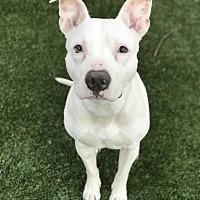 Adopt A Pet :: Butterscotch - Wethersfield, CT