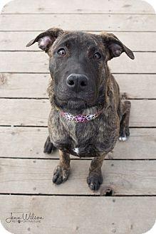 Mastiff/Labrador Retriever Mix Puppy for adoption in Drumbo, Ontario - Hazel