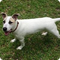 Adopt A Pet :: Basil - Tallahassee, FL