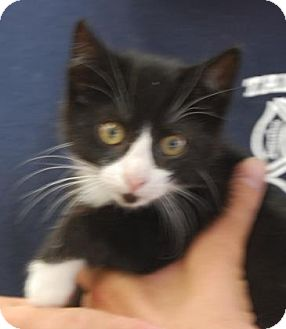 Domestic Shorthair Kitten for adoption in Brooklyn, New York - Mike