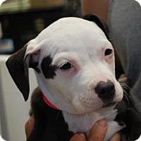 Adopt A Pet :: Nessa - Brooklyn, NY
