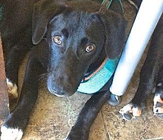Labrador Retriever Mix Puppy for adoption in San Diego, California - Alvarado