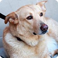 Adopt A Pet :: Riley (golden lab mix) - Morganville, NJ