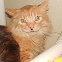 Adopt A Pet :: Simba - Jackson, MI