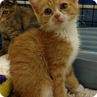 Adopt A Pet :: Shrimp - Knoxville, TN