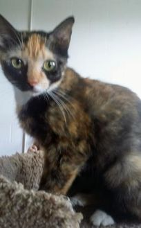 Domestic Shorthair/Domestic Shorthair Mix Cat for adoption in Huntsville, Texas - Holly