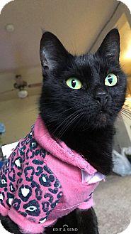 Domestic Shorthair Cat for adoption in Lynnwood, Washington - Fay