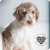 Adopt A Pet :: Spring - Inglewood, CA