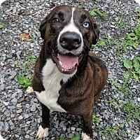 Adopt A Pet :: Houlie - Beacon, NY