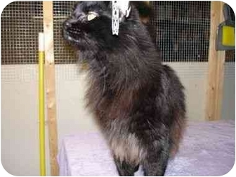 Domestic Longhair Cat for adoption in Overland Park, Kansas - Jazzy