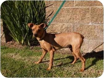 Miniature Pinscher Mix Puppy for adoption in El Cajon, California - Elmer