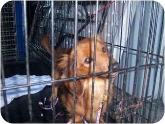 Dachshund Dog for adoption in Richmond, Virginia - Cylde