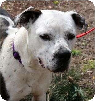 Pit Bull Terrier Mix Dog for adoption in Phoenix, Oregon - Wiggles