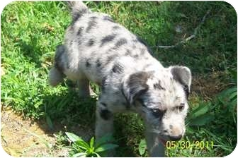 Australian Shepherd/Bearded Collie Mix Puppy for adoption in Conway, New Hampshire - Hercules
