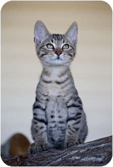 Domestic Shorthair Kitten for adoption in Carencro, Louisiana - Andre