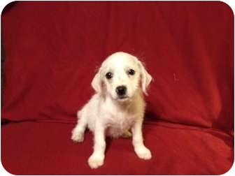 English Springer Spaniel/Terrier (Unknown Type, Small) Mix Puppy for adoption in Mission Viejo, California - MAYA