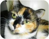 Calico Cat for adoption in Lincolnton, North Carolina - Cinammon