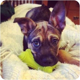 Shepherd (Unknown Type) Mix Puppy for adoption in Vancouver, British Columbia - Jake - Needs foster or adopter