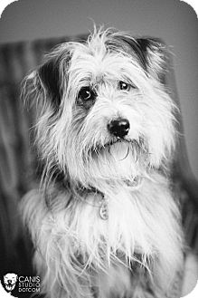 Wheaten Terrier/Petit Basset Griffon Vendeen Mix Dog for adoption in Portland, Oregon - Kermit
