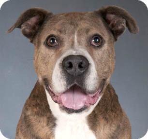 American Staffordshire Terrier Dog for adoption in Chicago, Illinois - Norman