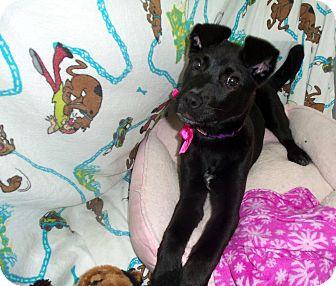 Labrador Retriever/Shepherd (Unknown Type) Mix Dog for adoption in Waldorf, Maryland - Cupcake #197