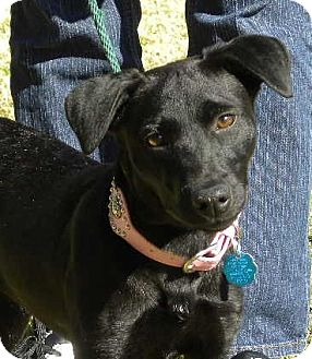 Jack Russell Terrier Mix Puppy for adoption in Kingwood, Texas - Sydney