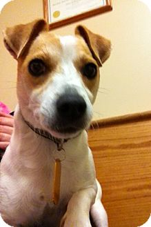 Jack Russell Terrier/Beagle Mix Dog for adoption in Armada, Michigan - Noya