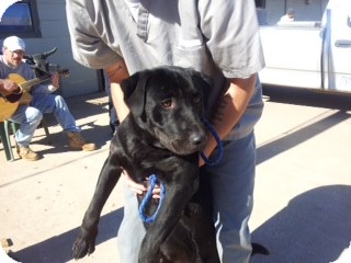 Labrador Retriever Dog for adoption in Oak Brook, Illinois - Rhett