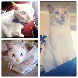Siamese Cat for adoption in Sunrise, Florida - Junior (aka Simba)
