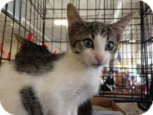 Domestic Shorthair Kitten for adoption in East Brunswick, New Jersey - Joey