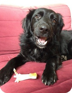 Flat-Coated Retriever/Spaniel (Unknown Type) Mix Puppy for adoption in Hamilton, Ontario - Little Lady